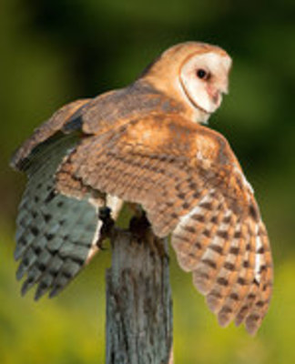 Icon of the event Canadian Wildlife: Owl, Snapping Turtle & more