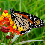 Icon of the event Grow Milkweeds for Monarch Butterflies! NEW TIME